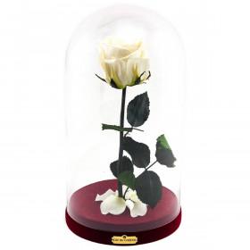 Weisse Ewige Rose Die Schöne & Das Biest